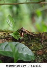 The chameleon eathing insects on the tree! .chameleom grasshopper Timber Leaves Greens Eat