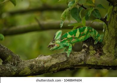 Chameleon eating home cricet in tree branch