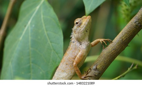 A Chameleon Faces Up Like A Supermodel