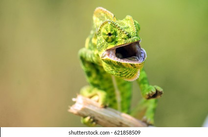 chameleon found in the ghats of Maharashtra India