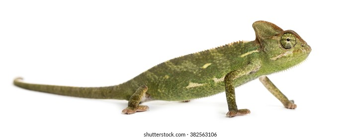 Chameleon in front of a white background