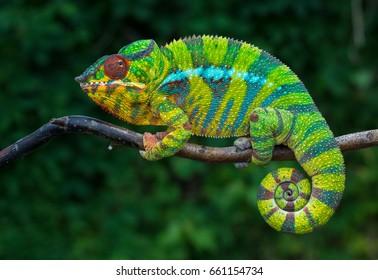 Image result for chameleon pictures