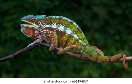 Chameleon Furcifer pardalis Antalaha male, endemic from Madagascar, ten months old angry panther chamemeleon