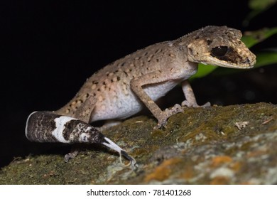 Chameleon Gecko (Carphodactylus laevis) is a species of large gecko endemic to the rainforests of Far North Queensland, Australia. Mount Hypipamee National Park, Queensland, Australia.