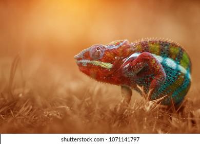 Chameleon In Gold Light