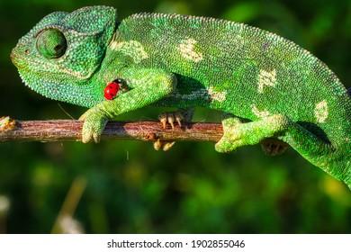 chameleon ladybug and tree frog