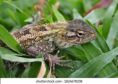Chameleon lizard (Bronchocela jubata) on grass.