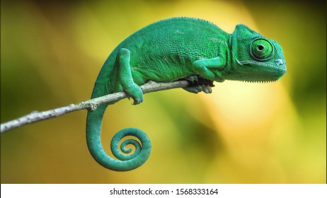 Chameleon Images, Stock Photos & Vectors | Shutterstock