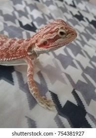 chameleon lizard pet