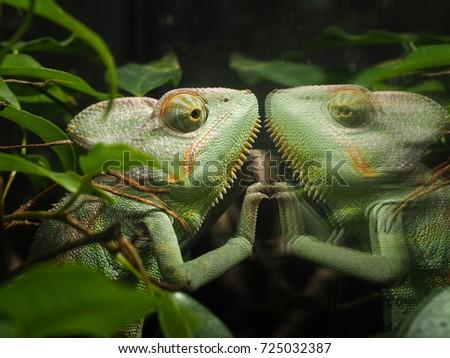 Chameleon Looks His Reflection Glass Terrarium Stock Photo Edit Now
