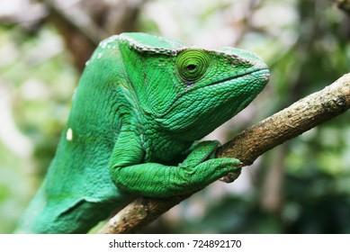 Chameleon of Madagascar in Africa, Ranomafana park