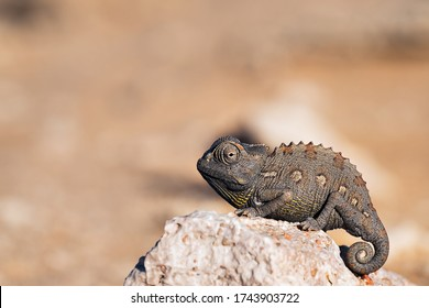 Chameleon in the nambia desert in swakopmund - close-up shot - desert animal