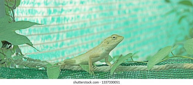 Chameleon on branch in greenhouse,green background