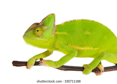 Chameleon on a branch over white background