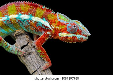 Chameleon on branch, reptile on branch, chameleon with black background