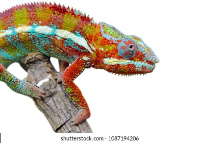 Chameleon on branch, reptile on branch, chameleon on white background