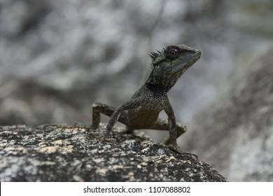 chameleon on the Rocks