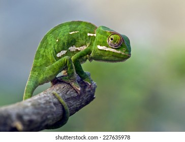 chameleon on stick
