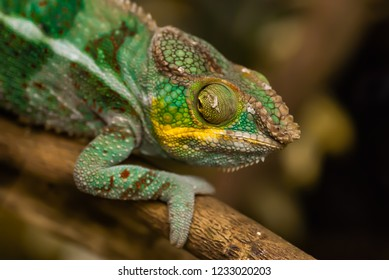 A chameleon on a tree branch