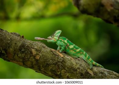 Chameleon on tree hunting home cricket