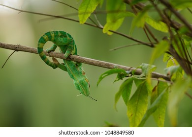 Chameleon with prey on branch