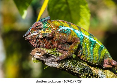 Chameleon in the primeval forests of the Andasibe National Park, Eastern Madagascar