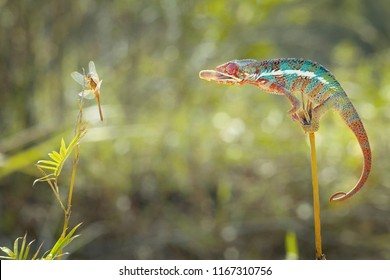 Chameleon ready to eat dragonfly