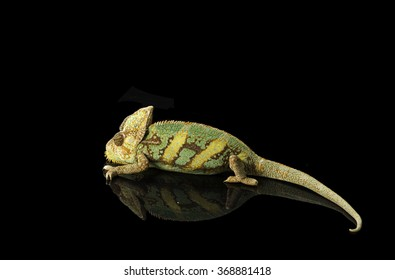 Chameleon with reflection