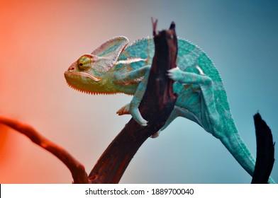The Chameleon reptile in Gradation Color