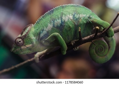 Chameleon sits on a branch in the terrarium and watches what is happening