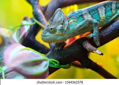 Chameleon sitting on a tree branch. Mimicry under a colorful environment. Reptile, lizard.