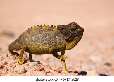 Chameleon - Skeleton coast - Namibia