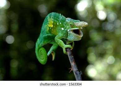 A chameleon species endemic to the Usambara Mountains in Tanzania