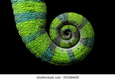 Chameleon spiral tail on black background, Furcifer pardalis Ambilobe - Panther chameleon