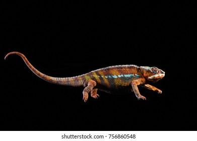 chameleon in studio