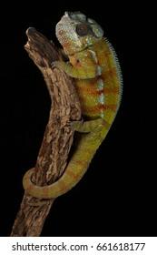 Chameleon - Studio Captured Image - Macro Photography