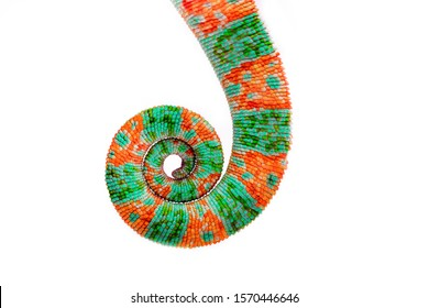 Chameleon tail isolated on a white background. Multicolor beautiful chameleon reptile with bright vibrant skin. The concept of camouflage and bright skin. Exotic tropical animal.