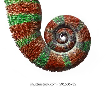 Chameleon Tail in Spiral, Furcifer pardalis on White Background