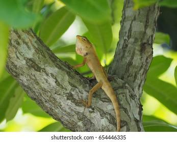Chameleon thai Small reptile in Thailand