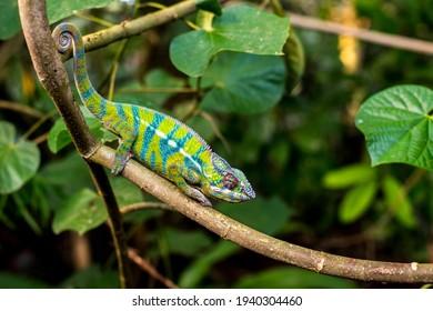 Chameleon im tropischen Regenwald