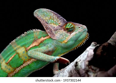 Chameleon veiled rady to catching a dragonfly, animal closeup, chameleon veiled on branch
