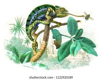 Chameleon, vintage engraved illustration. Natural History from Lacepede.