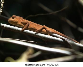 Chameleon in walking in Madagascar