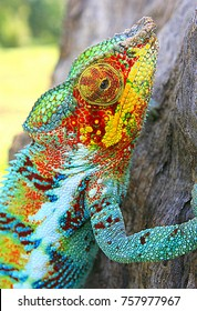 Chameleon in the wild, Madagascar