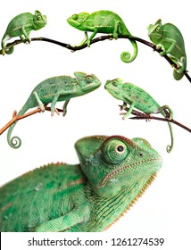 chameleons - Chamaeleo calyptratus on a branch isolated on white - collection