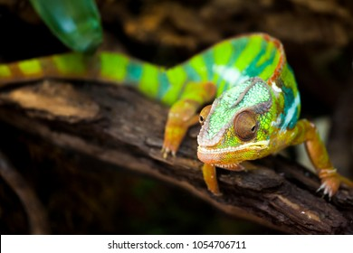 Chameleons or chamaeleons (family Chamaeleonidae) are a distinctive and highly specialized clade of old world lizards with 202 species described.