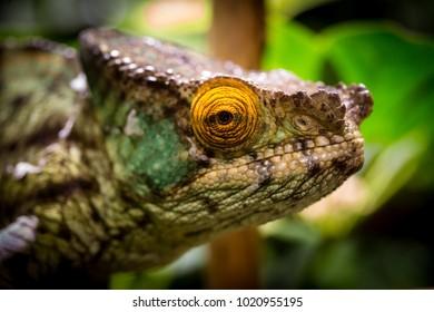 chameleon's head close up macro