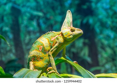 Chameleons are a type of lizard with the ability to change colour