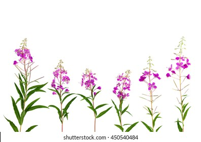 Chamerion angustifolium (common names: fireweed, great willowherb, rosebay willowherb) on white background with space for text. Flat lay