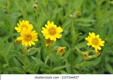 Chamisso arnica yellow flowers
